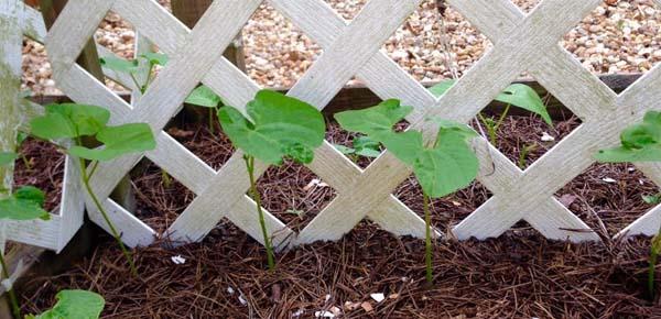 green-beans-2015