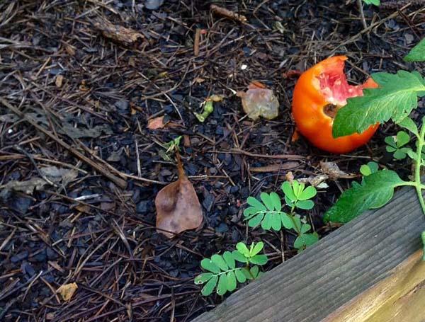 tomato-carnage-1