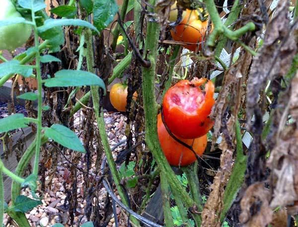 tomato-carnage-3